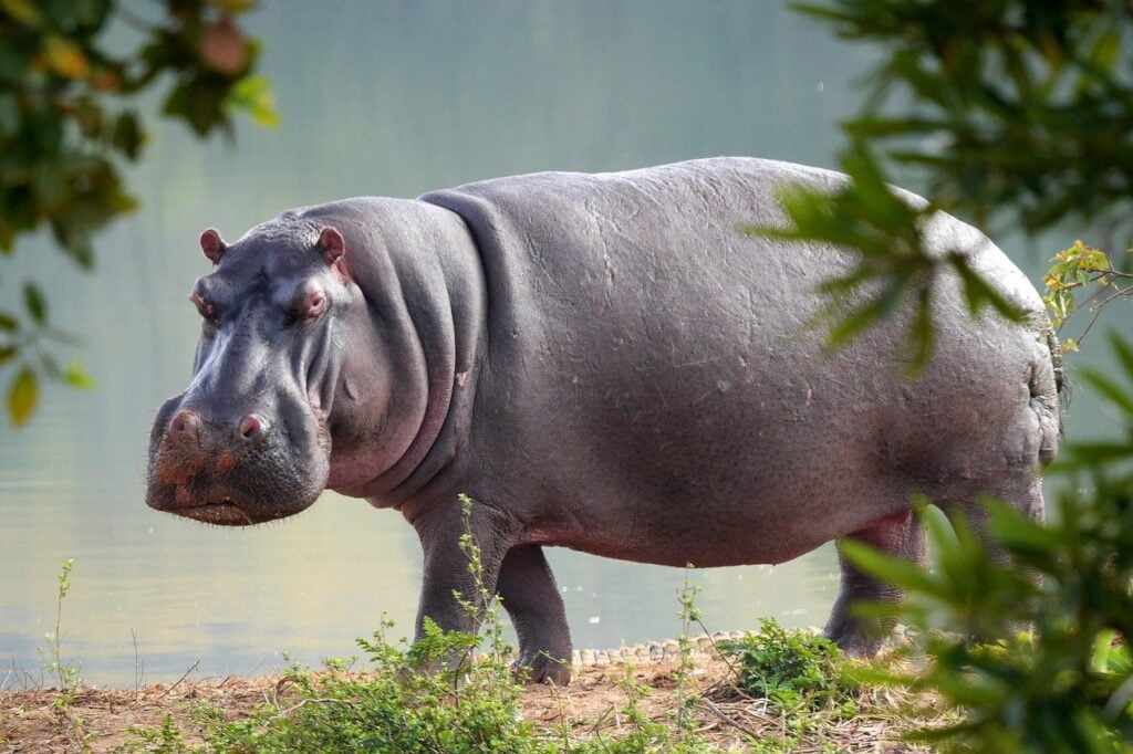 hippo, nature, animal world