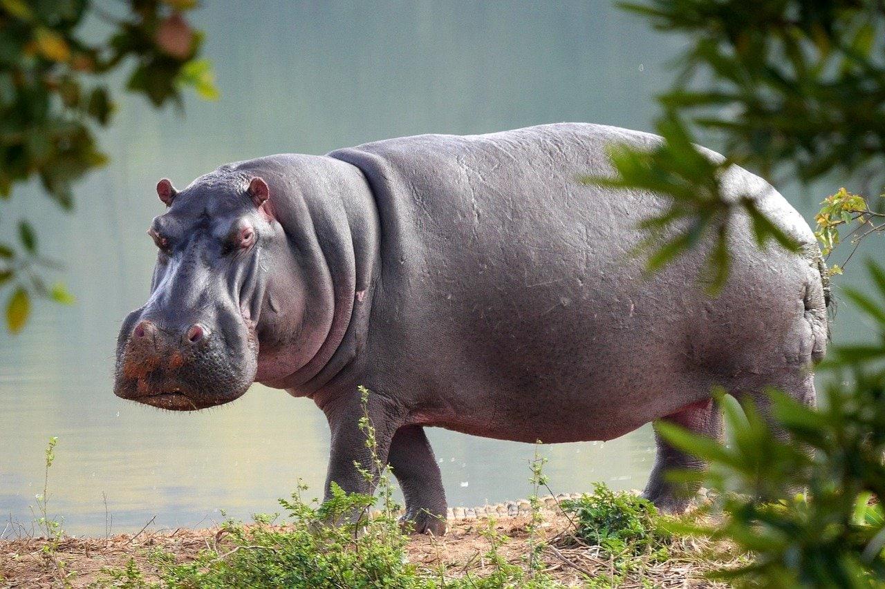 hippo, nature, animal world
