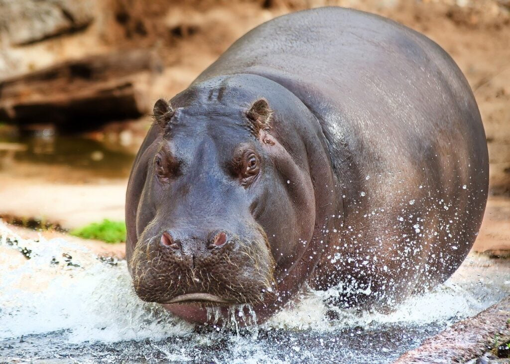 hippo, water, animal world