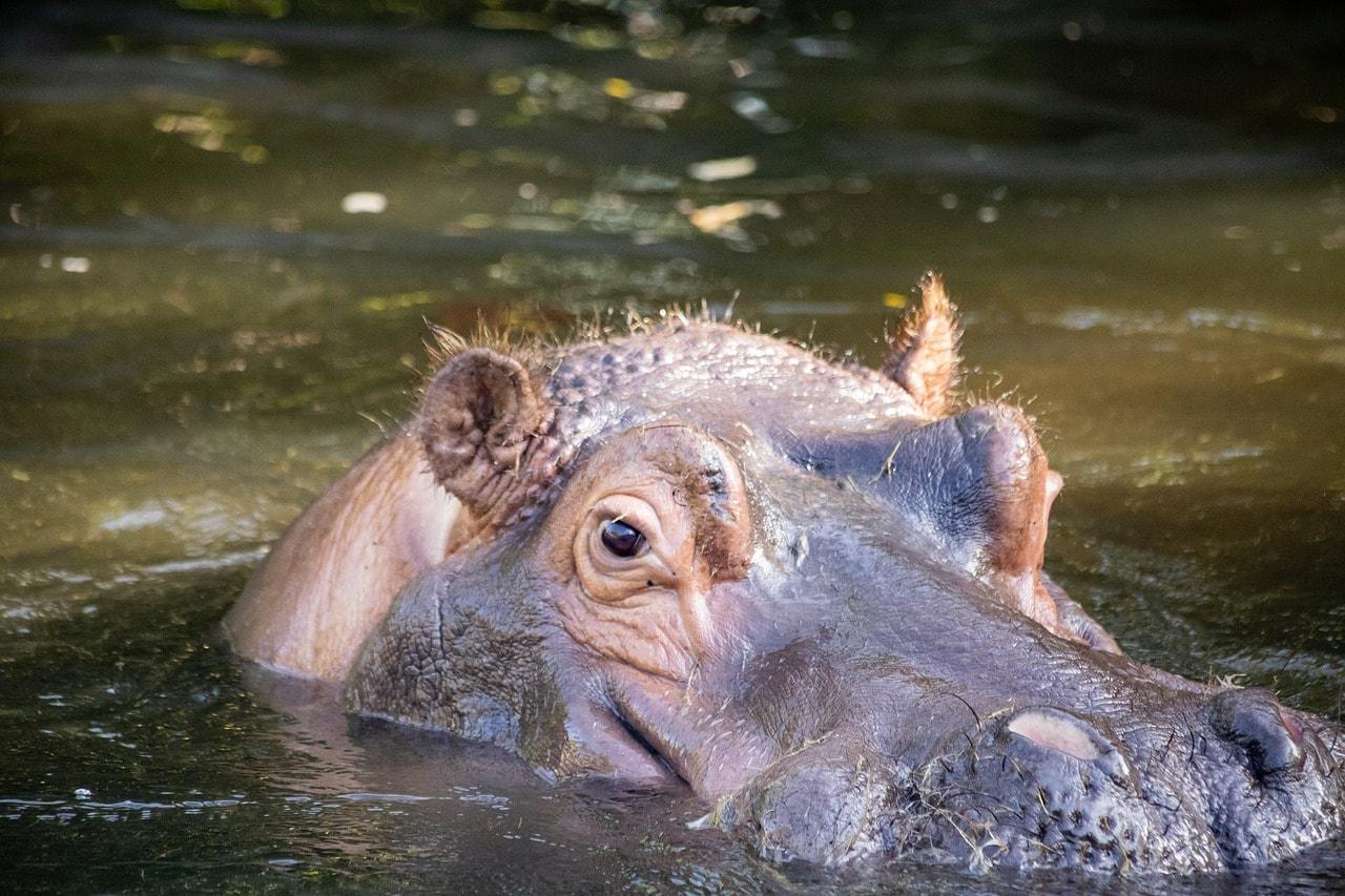 hippopotamus, hippo, animal